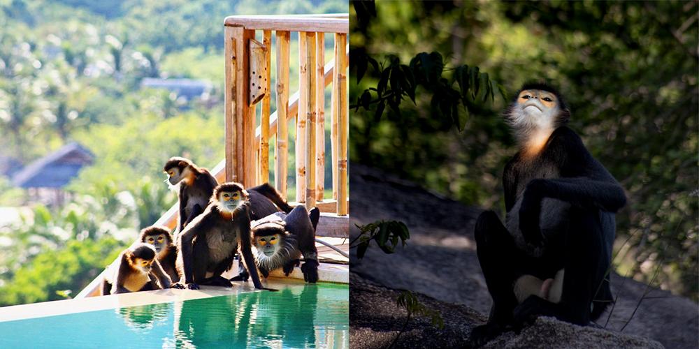 Voọc chà vá chân đen, biểu tượng Bảo tồn đa dạng sinh học tại Six Senses Ninh Vân Bay